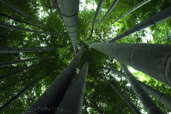 bamboo looking up