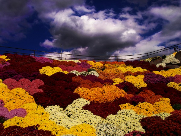 Where the sky meets the mums