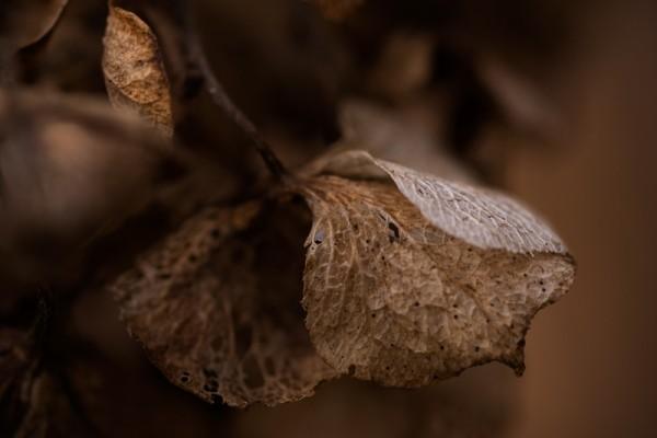 Dried Hydrangea Macro