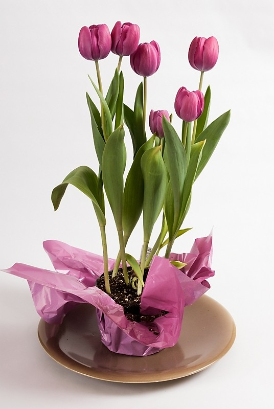 purple tulips on a platter