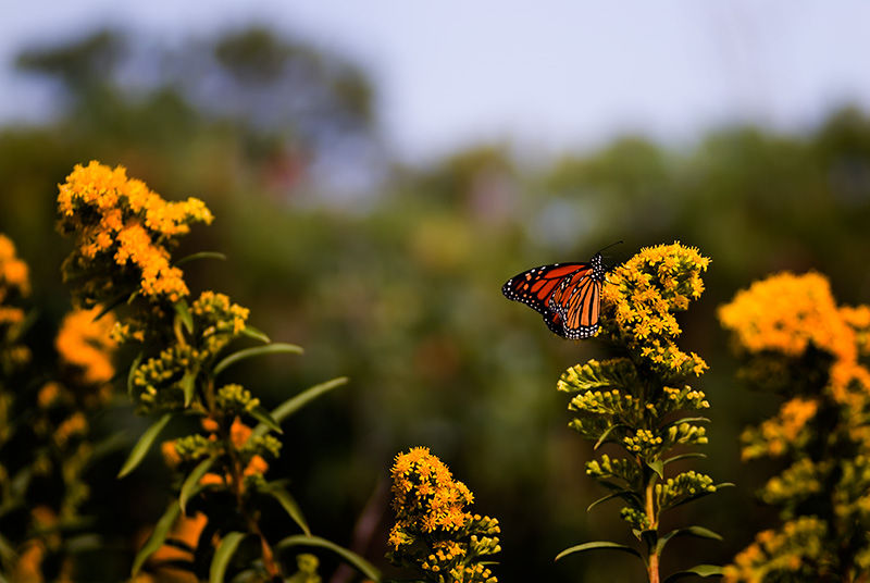 Monarch butterfly on goldenrod in Sandy Hook