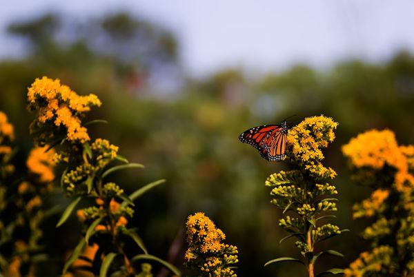 Monarch butterfly on goldenrod in Sandy Hook