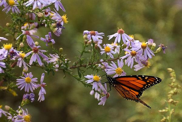 Monarch butterfly in Sandy Hook