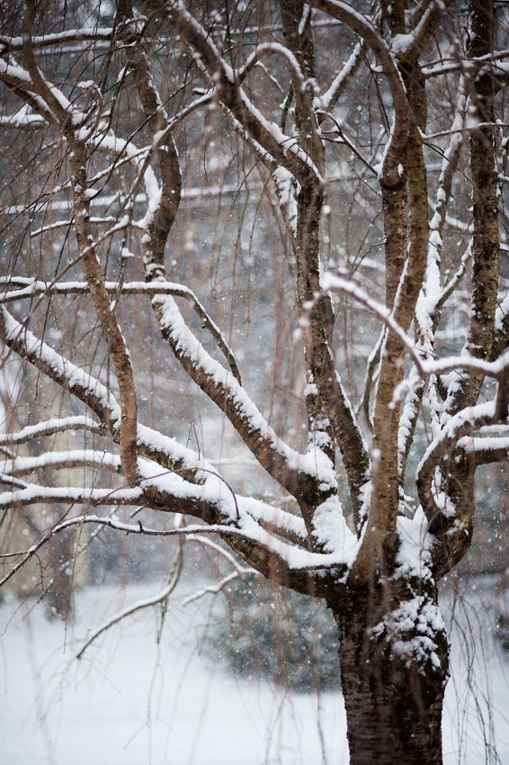 Snowy weeping cherry tree