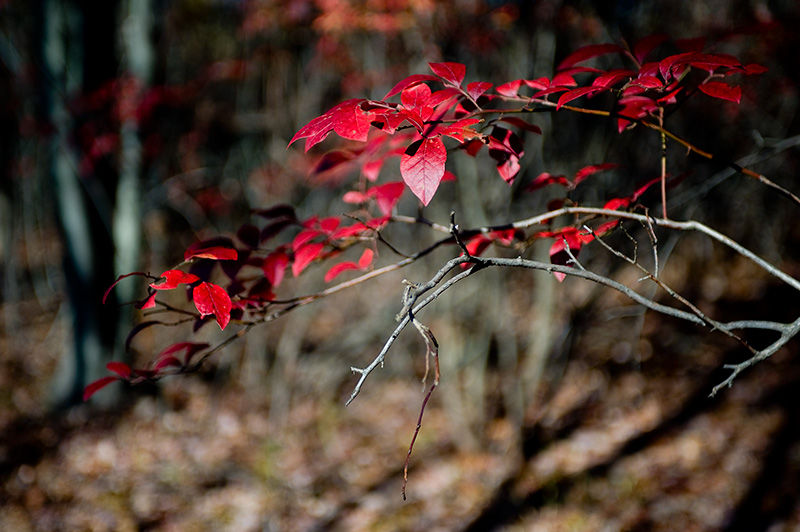 Red fall leaves in GReat Swamp NJ