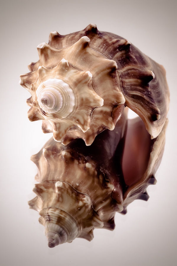 Shell reflected in a mirror