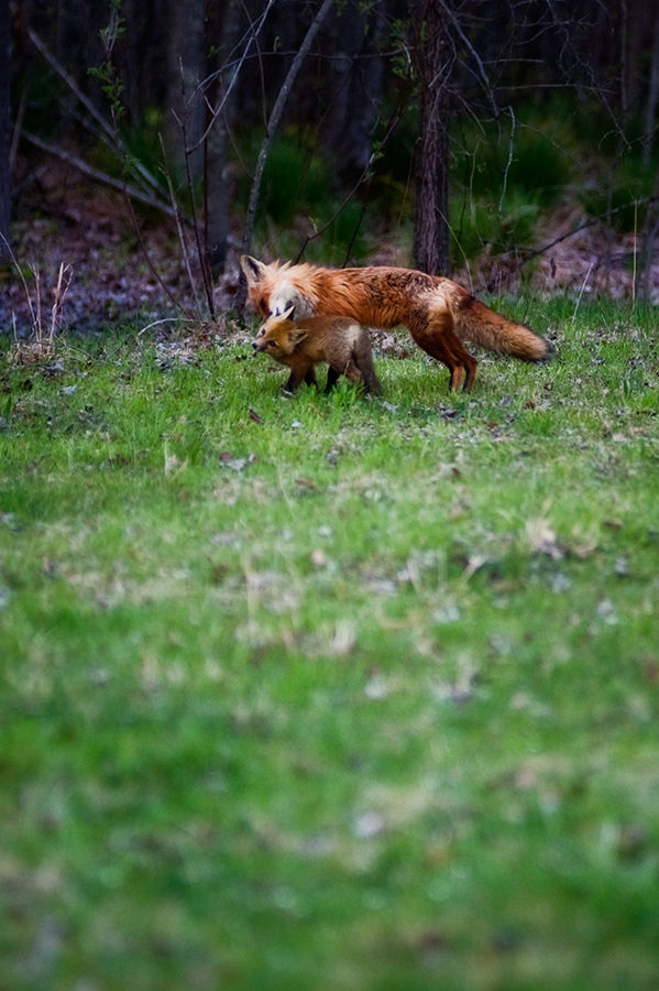 Mama Fox with baby in the Great Swamp New Jersey