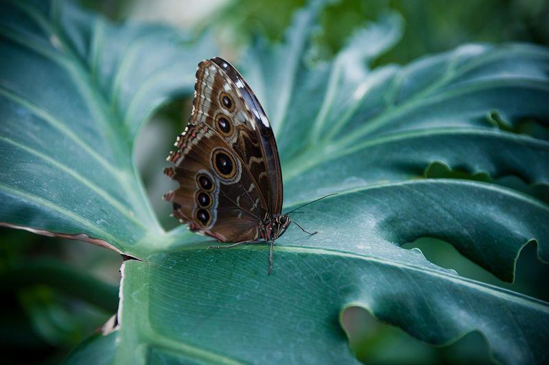 blue morpho butterfly  Callaway Gardens Georgia