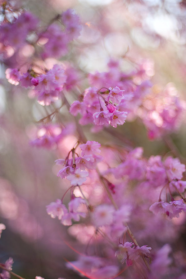 Weeping Cherry 2010