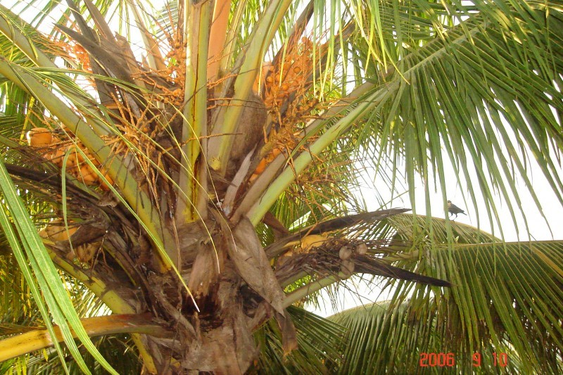 coconut tree...
