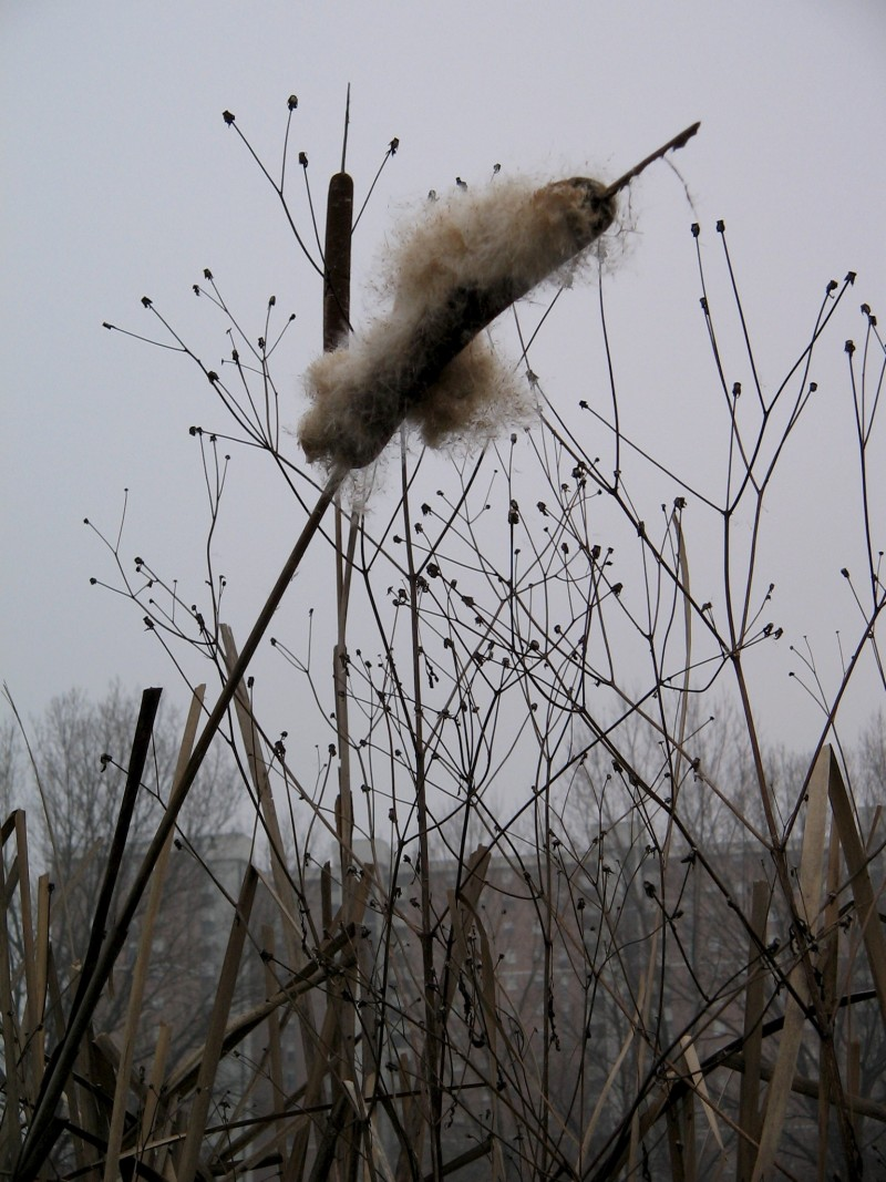 cat tails in a field