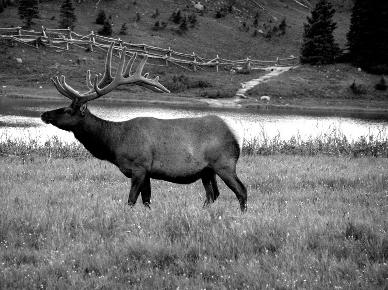 Bull Elk, Rocky Mtn. National Park, Colorado