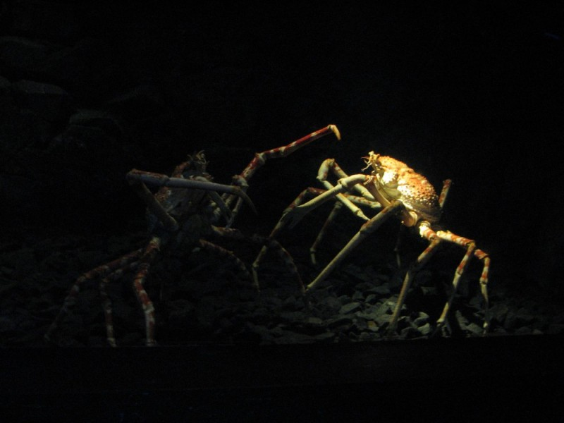 Spidercrabs