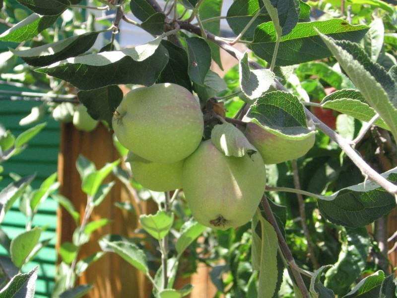 Gramma's Apples
