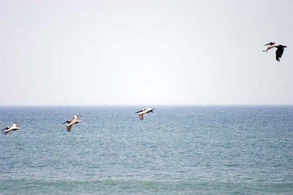 Pelicans, OBX outer banks