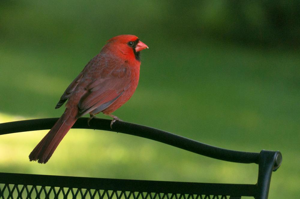 Backyard cardinal
