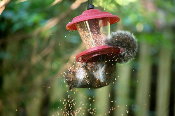 Birdseed thief
