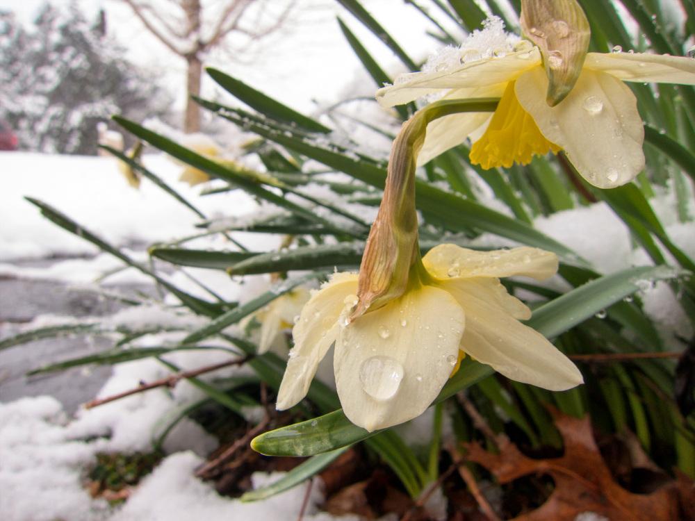 Poor daffodils