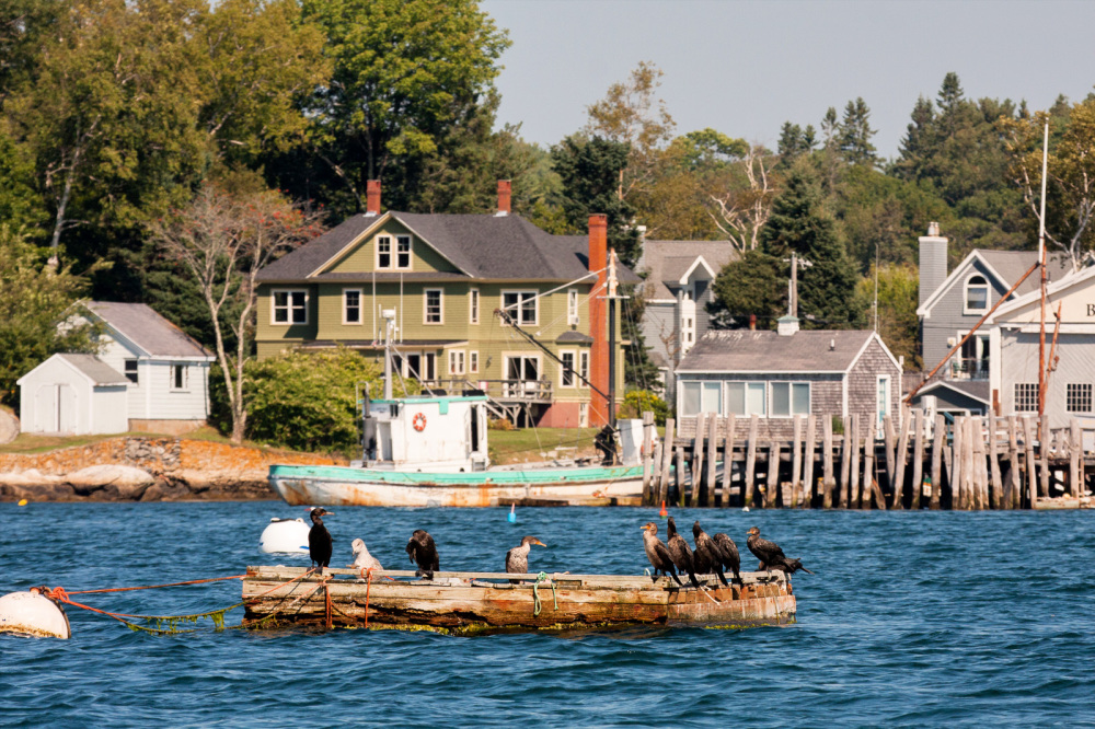 Cormorants on the float