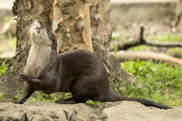 Otter snack time