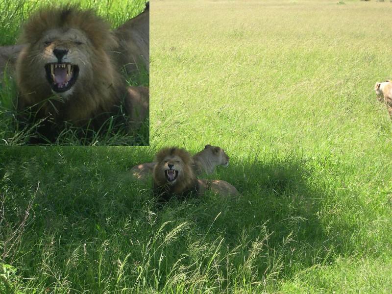 lion serengetti kenya