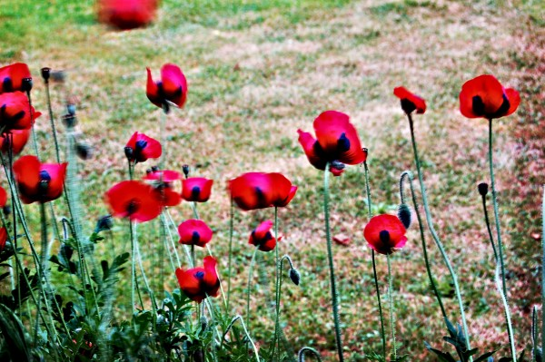 lomofied poppies