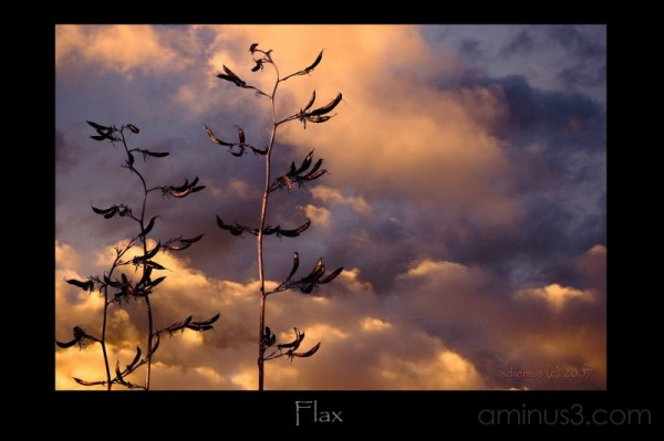 flax sunset
