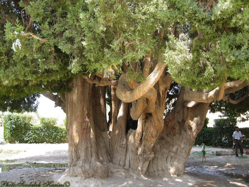 4500 Years Old Cypress(2)