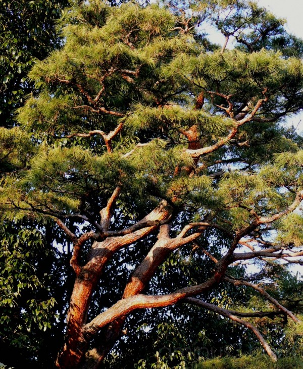 Red Pine branches