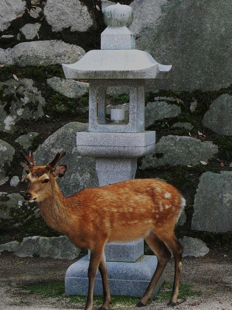 Deer poses before stone lantern on Miyajima Island