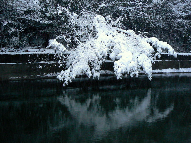 Snow laden tree over canal water