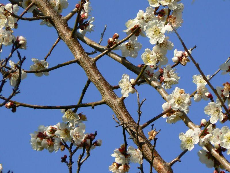 White plum blossom against a blue sky