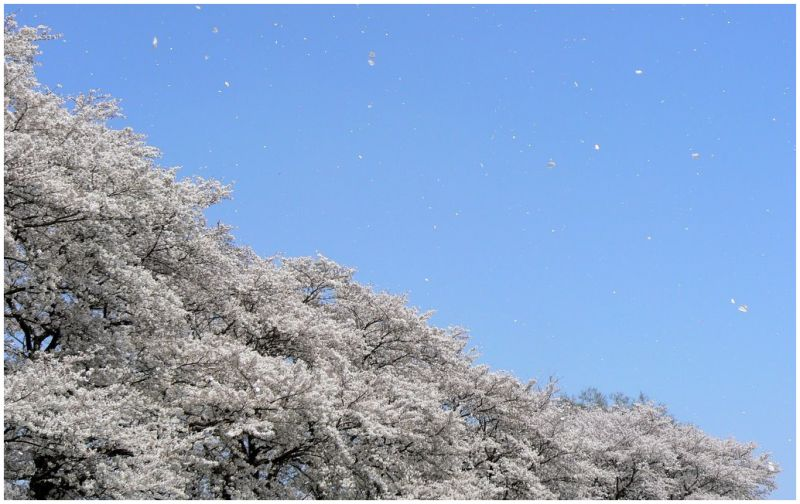 Cherry blossom petals blowing across the sky