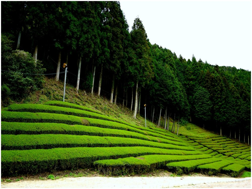 Green tea at a tea plantation in Japan