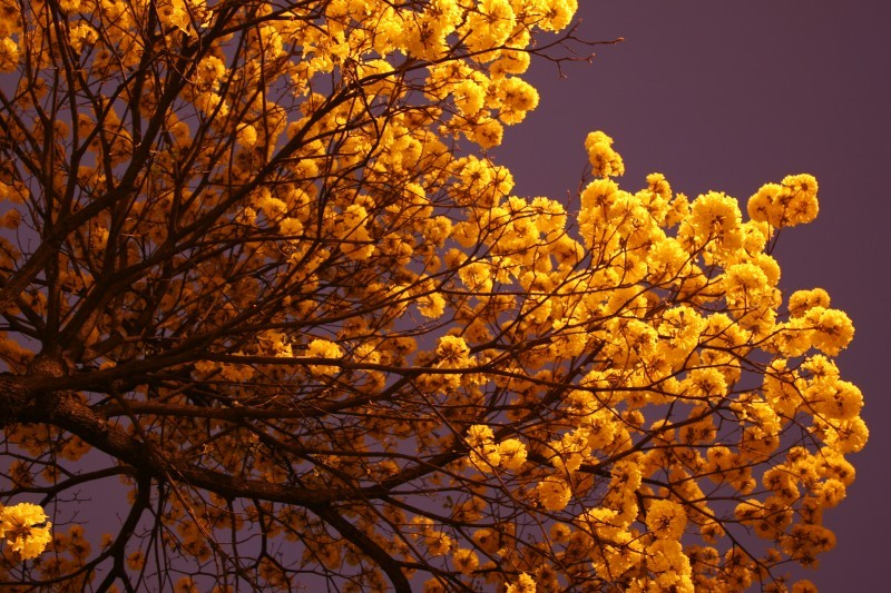 flowering trees at night
