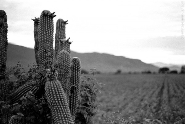 oaxaca mexico cactus field
