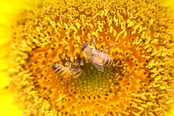 sunflower, bees