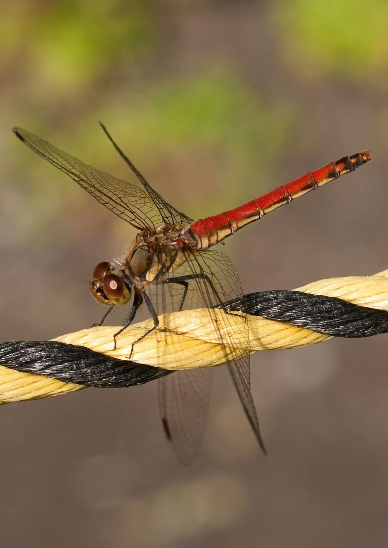 "Another ""Not A Macro"" Dragonfly"