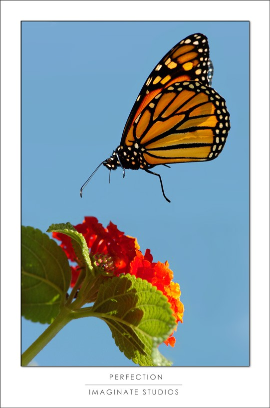 Perfection - catching a butterfly midair