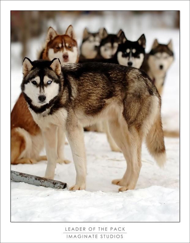 leader of an alaskan husy pack