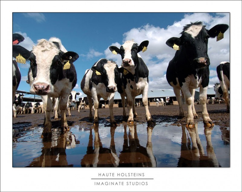 holsteins bathing in the sun