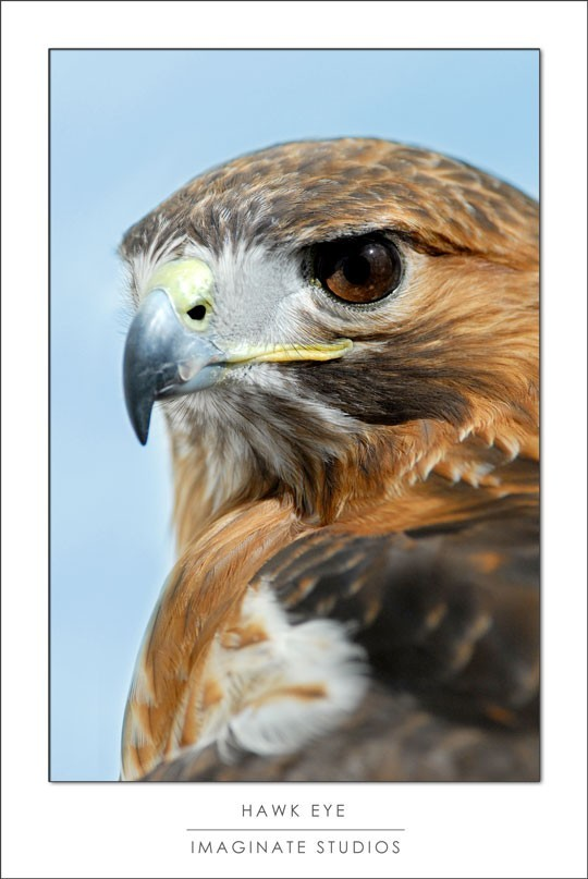 a red tailed hawk