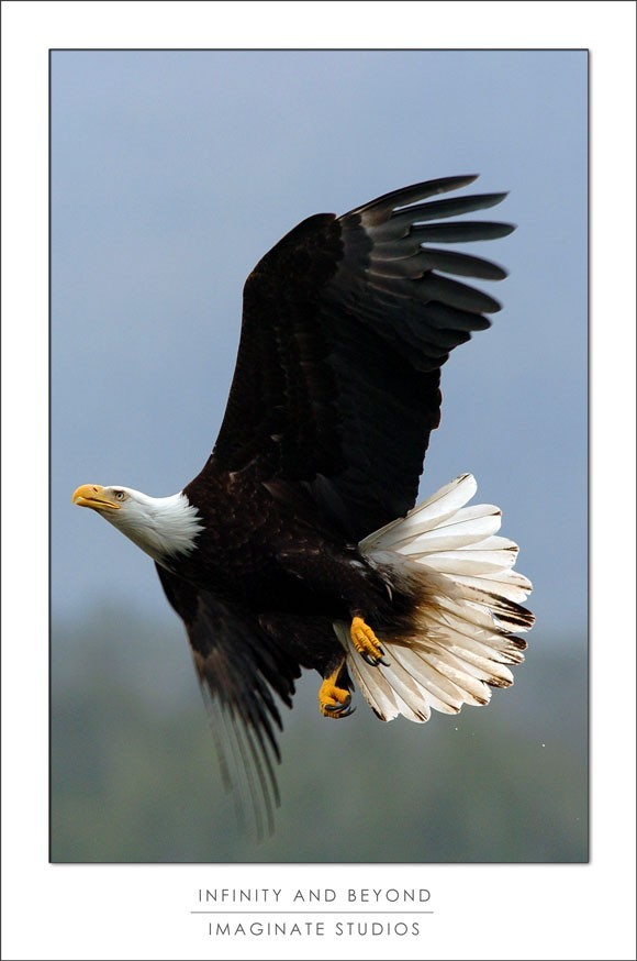 A bald eagle soars in Alaska