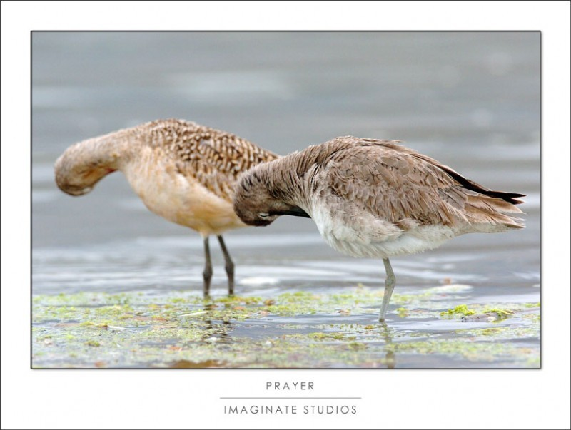 A pair of sandpipers bow their heads