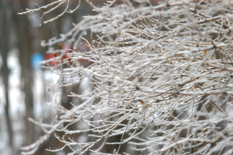 A rain storn left ice on the branches.