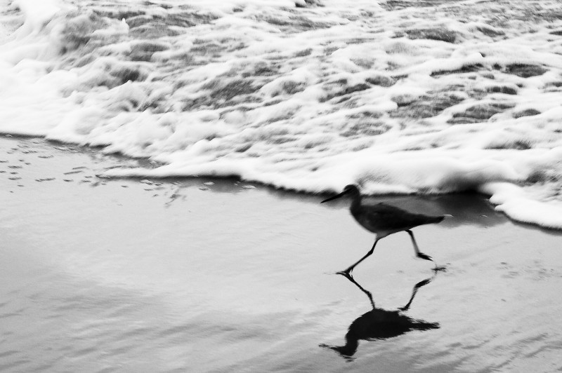 SANDPIPER RUNS FROM WAVE