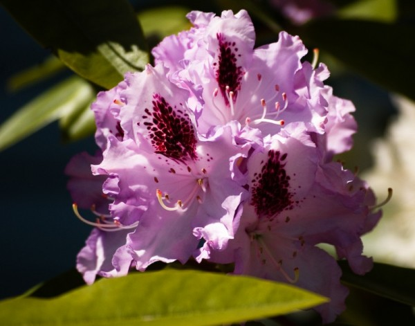 Mauve Rhododendron