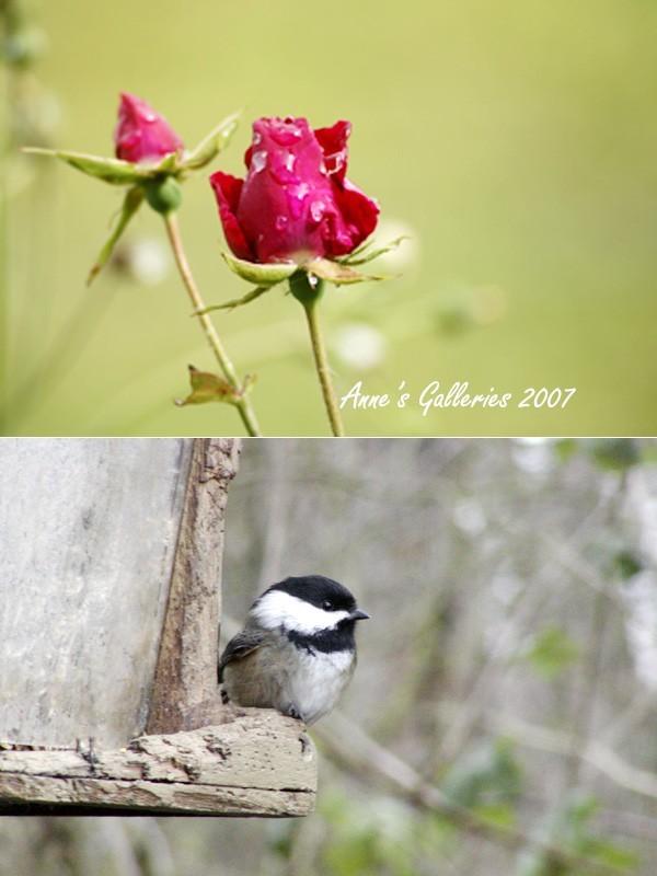 Last Rose - Chikadee