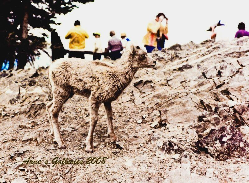 Rockly Mountain Lamb