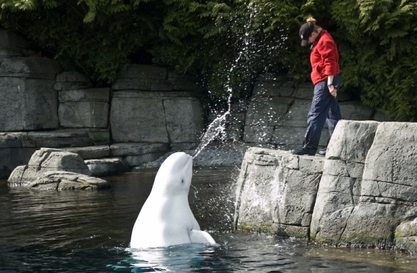 Beluga Enjoys Spraying Trainer